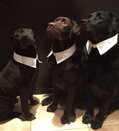 Benji, Bulles & Bruno dec 2014 Labrador Retriever, Dogs, Animals, Labrador Retrievers, Animales, Animaux, Pet Dogs, Doggies, Animal