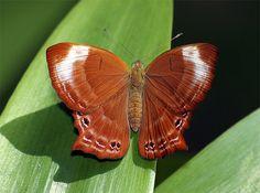 Malay Plum Judy (Abisara saturata kausambioides)