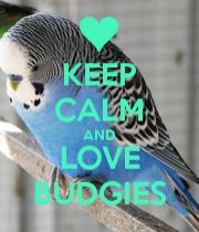 KEEP CALM AND LOVE BUDGIES poster.