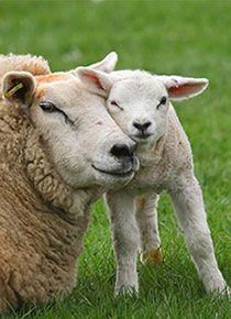 We've gathered our favorite ideas for Cute Lamb Related Keywords And Suggestions Cute Lamb Long, Explore our list of popular images of Cute Lamb Related Keywords And Suggestions Cute Lamb Long. Vegan Animals, Farm Animals, Animals And Pets, Cute Animals, Lamas, Cute Lamb, Cute Sheep, Baby Lamb, Sheep And Lamb