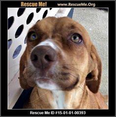 florida vizsla rescue adoptions rescueme org located at florida ...