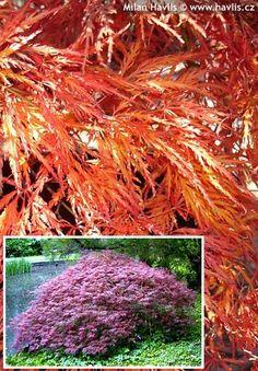 Acer palmatum Japanischer Ahorn Sango Kaku 80-100cm