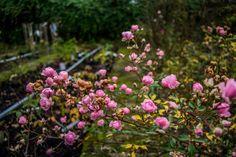 #OldCity #PinkRose #RosaraieProvins #France #Provins #CityofRoses #Flowers — in Provins, France.