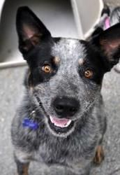 Blake is an adoptable Australian Cattle Dog (Blue Heeler) Dog in Hopkinton, MA.   Blake is approximately three years old and came to Baypath via the Taunton Animal Shelter where Blake was found as a s...