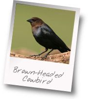 Get to know: Brown-Headed Cowbird  This bad bird lays it's eggs in other bird's nest for other birds to take care of.  Then the cowbird baby will push the smaller birds out of their nest.