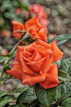 Rose garden Home - Rare Orange Rose Seeds Flower Bush Perennial Shrub Garden Home Exotic Home Yard Grown Party Wedding Bi Color Bright Tropical 193 Rose Orange, Orange Flowers, Pretty Flowers, Orange Tea, Rose Reference, Orange Rosen, Rosa Rose, Growing Roses, Coming Up Roses
