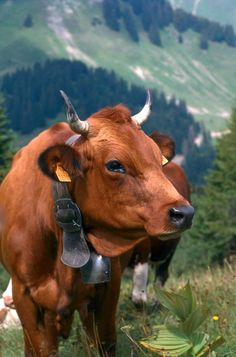 Country cow. France