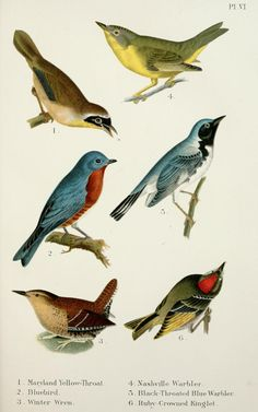 A popular handbook of the birds of the United States and Canada, - Biodiversity Heritage Library