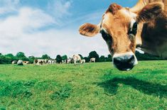 """Even the short answer is a bit complicated: Oxen and cows are both cattle, but not all cattle are cows and oxen. The umbrella term for the animal is """"cattle"""" (or bovines), while cows an… Tier Wallpaper, Animal Wallpaper, Wallpaper Backgrounds, Wallpaper Desktop, Wallpapers, Cow Pictures, Happy Cow, Work With Animals, Funny Farm"""