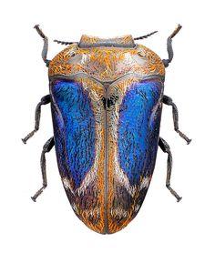 Habroloma lewisi - gold, white, black, iridescent blue