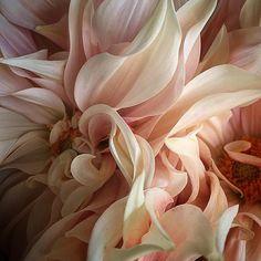 @mag.gieshep.herd Peachy dahlia from joartflowers Tumblr #peachy #dahlia #flower #specimen #stilllife #luxury #study #botany #botanical… Pink Flowers, Beautiful Flowers, Flower Art, Dahlia Flower, Flower Petals, Horticulture, Botany, Flower Power, Planting Flowers