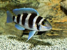 frontosa cichlid...what ours looks like right now