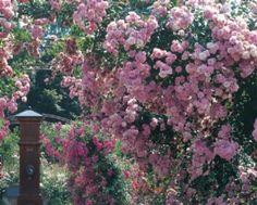 Short, rambling rose that repeat flowers, Super Fairy.