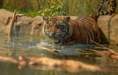 Deux tigres de Sumatra sont arrivés au Parc du Reynou