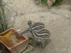 young Emus