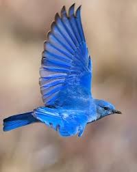 I want this on me. Mountain Bluebird. Nevada state bird and so pretty.