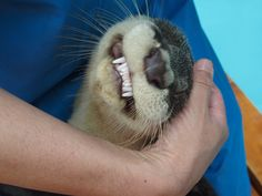 Otter, Your Smile Is a Little. Unsettling — The Daily Otter Happy Animals, Animals And Pets, Funny Animals, Cute Animals, Wild Animals, Otters Cute, Baby Otters, Baby Sloth, Otter Love