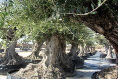 ¿Desea un olivo ornamental de gran porte para su jardín? El Olivo Lechín es un tipo de olea europaea que se adapta a todos los climas del mundo. Centenario, Landscape Design, Landscaping, Trees, Mansions, Plants, Landscape Designs, Villas, Landscape Architecture