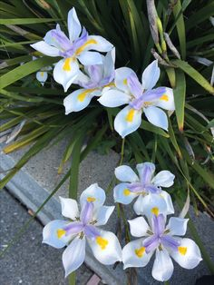 Pic taken by Mary Alice Means African Iris, African Flowers, Exotic Flowers, Purple Flowers, Beautiful Flowers, Garden Shrubs, Garden Plants, Iris Drawing, All About Plants