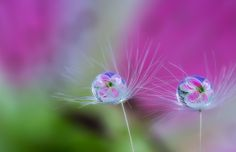 Drops on the dandelion seeds