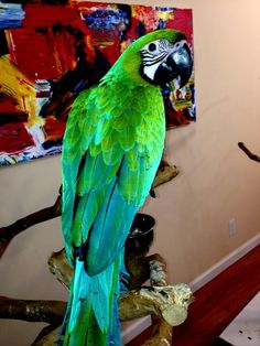 Emerald Macaw is achieved by crossing a Hyacinth with a Buffons macaw.