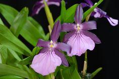 Miltonia spectablis Var. moreliana 'Bigb Ben' - by species orchids, via Flickr