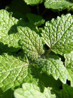 Medovka lekárska, Koreninová a liečivá záhrada