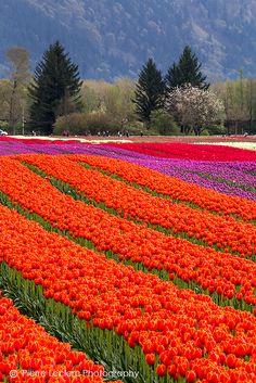 Field of tulips in Agassiz, British Columbia, Canada Amazing Flowers, Beautiful Roses, Beautiful World, Beautiful Gardens, Beautiful Flowers, Wonderful Places, Beautiful Places, Tulip Fields, Spring Bulbs