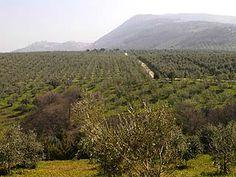 Olive trees in Poggio Moiano