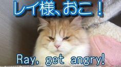 レイ様、おこ!【かわいい子猫のおもしろい動画】