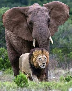 Lion being chased by bull Elephant! in Addo Elephant Park. Bull Elephant, Elephant Park, Elephant Love, Nature Animals, Baby Animals, Funny Animals, Cute Animals, Baby Hippo, Wildlife Nature