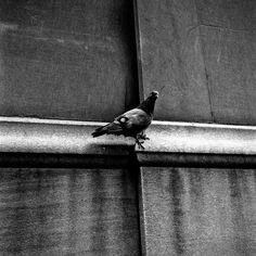 Pigeon by Vivian Maier, September 1954 - Photo # VM1954W03417-06-MC