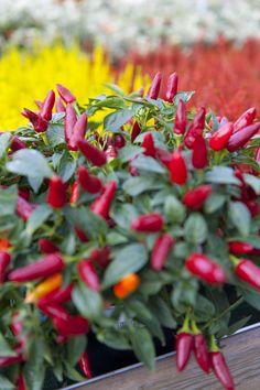 Peperoncino ornamentale o capsicum annuum Capsicum Annuum, Container Gardening, Backyard, Fall, Colors, Plants, Fantasy, Autumn, Patio