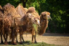 Ad: Three Bactrian camels feeding by Nick Fox on Three Bactrian camels feeding. The Bactrian camels have two humps on their backs, in contrast to the single-humped dromedary camels. Prevent Diabetes, Cure Diabetes, Diabetes Food, Diabetes Tattoo, Bactrian Camel, Signs Of Diabetes, Travel Snacks, Diabetic Breakfast, Diabetic Desserts