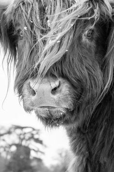 Cattle 5 - Fine Art Photography - Cow - Nature Photography Highland Cattle: This animal looks so kind and gentle. A very nice Black and White photo!Highland Cattle: This animal looks so kind and gentle. A very nice Black and White photo! Foto Picture, Photo Animaliere, Photo Art, Animal Photography, Fine Art Photography, Nature Photography, White Photography, Family Photography, Photography Studios