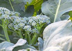 Ohjeet parsakaalin kasvatukseen | Meillä kotona