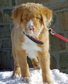 Scotie the Nova Scotia Duck Tolling Retriever-Here's a puppy who loves the snow!