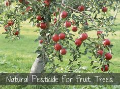Natural Pesticide For Fruit Trees...http://homestead-and-survival.com/natural-pesticide-for-fruit-trees/