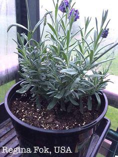 Indoor Lavender Plant, Lavender Plant Care, Growing Lavender, Lavender Garden, Growing Herbs, Lavender Plants, Lavander, Herb Garden, Indoor Garden