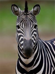 zebras are so pretty!