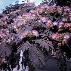 Chocolate Mimosa Tree W/Blossoms