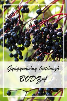Elderberry has been shown to shorten the duration of the flu. This herbal remedy contains a lot of natural Vitamin C and anti-inflammatory compounds. Natural Remedies For Allergies, Allergy Remedies, Flu Remedies, Holistic Remedies, Natural Home Remedies, Natural Healing, Herbal Remedies, Health Remedies, Healing Herbs