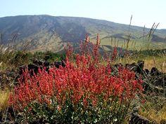 Fiori e piante dell'Etna - Rumex dell' Etna 06_07_084.jpg