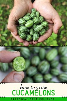 Cucamelons (also known as mouse melons and Mexican sour jerkins) are more than just a cute farmers market novelty. These tiny mouse melons are truly delicious, with a flavor like fresh cucumber mixed with a hint of lime. Since they can be popped into your mouth on a walk through the garden, growing cucamelons is a really rewarding use of garden space. #gardening #spring #cucamelon #practicalselfreliance
