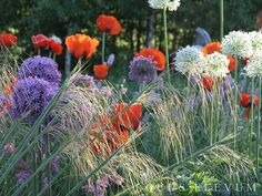 Stipa gigantea, Allium, Papaver