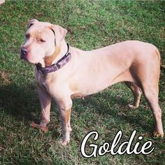 Meet Goldie, an adoptable Pit Bull Terrier looking for a forever home. If you're looking for a new pet to adopt or want information on how to get involved with adoptable pets, Petfinder.com is a great resource.