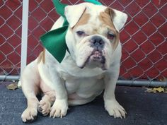 SAFE --- Manhattan Center   DEISEL - A1022519   NEUTERED MALE, WHITE / BROWN, ENG BULLDOG, 5 yrs OWNER SUR - EVALUATE, NO HOLD Reason MOVE2PRIVA  Intake condition EXAM REQ Intake Date 12/06/2014, From NY 10458, DueOut Date 12/06/2014,   https://www.facebook.com/photo.php?fbid=918267148186165