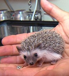 , the baby African Pygmy Hedgehog. Zaylan's next pet?!? I've got to get more info. He is so stinking cute!!