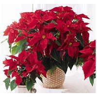 Savati za održavanje Božićne zvezde - blog cvećare Garden shop