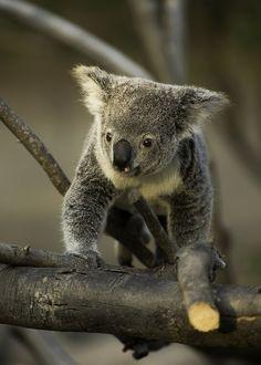 Koala by Paul E.M.